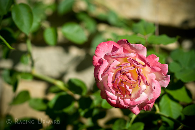 a welting rose